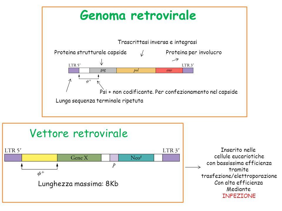 Lunga sequenza terminale ripetuta Psi + non codificante. Per confezionamento nel capside Proteina strutturale capside Trascrittasi inversa e integrasi