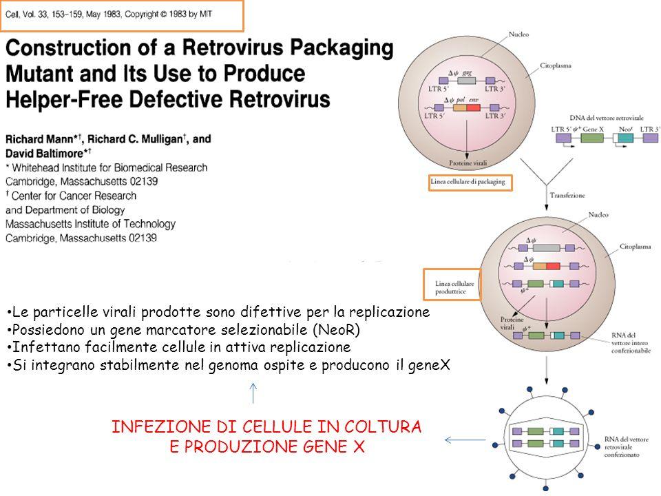 Le particelle virali prodotte sono difettive per la replicazione Possiedono un gene marcatore selezionabile (NeoR) Infettano facilmente cellule in attiva replicazione Si integrano stabilmente nel genoma ospite e producono il geneX INFEZIONE DI CELLULE IN COLTURA E PRODUZIONE GENE X