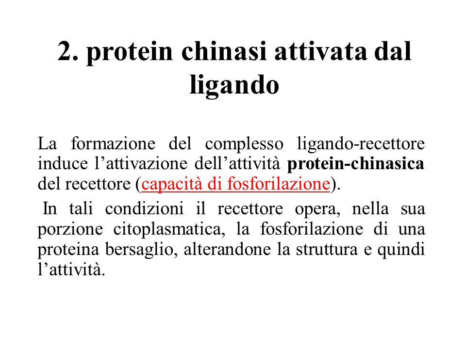 2. protein chinasi attivata dal ligando La formazione del complesso ligando-recettore induce lattivazione dellattività protein-chinasica del recettore
