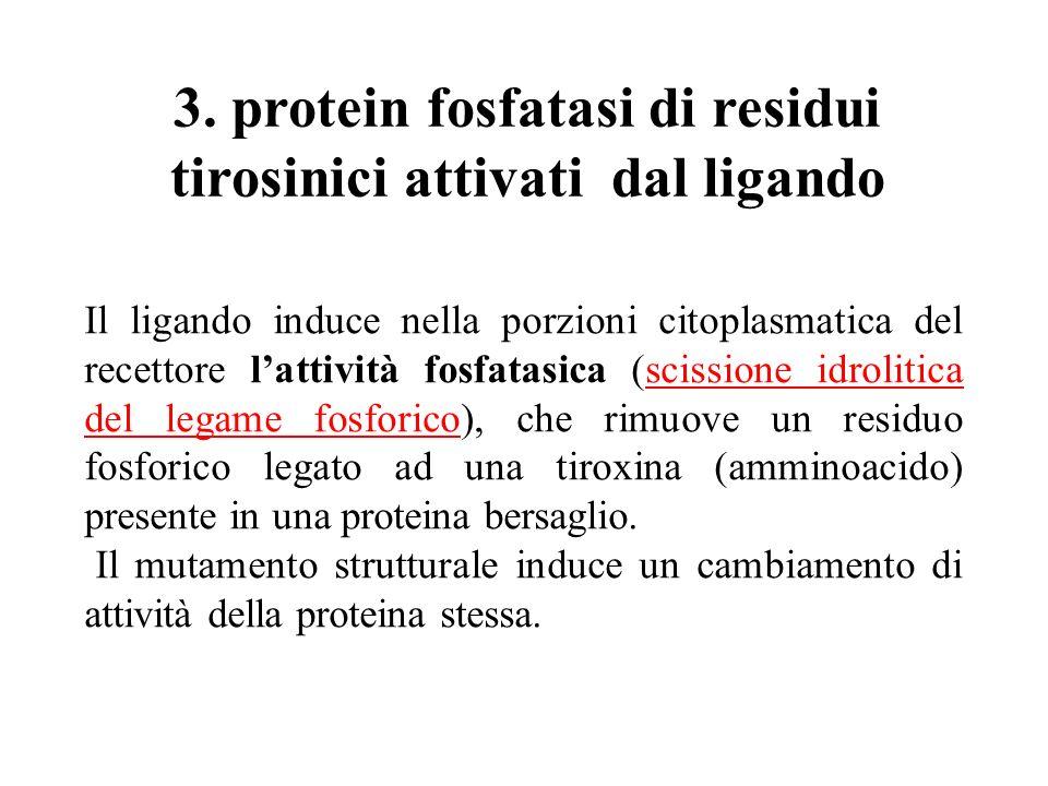 3. protein fosfatasi di residui tirosinici attivati dal ligando Il ligando induce nella porzioni citoplasmatica del recettore lattività fosfatasica (s