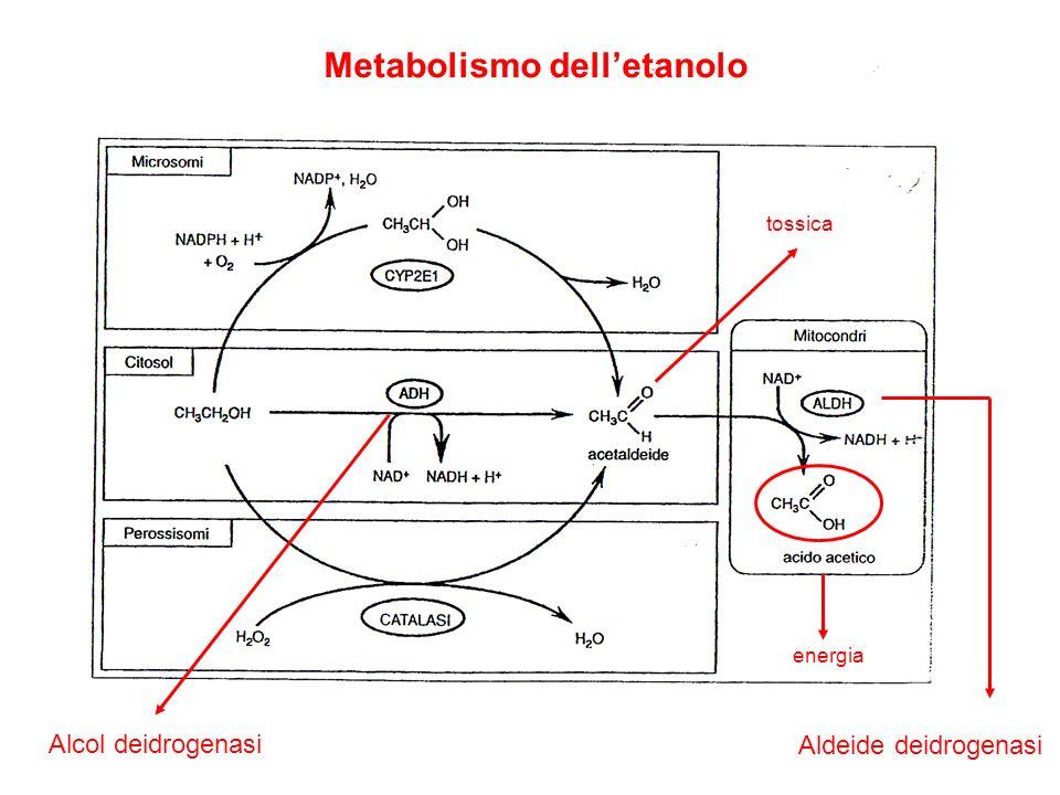 Metabolismo delletanolo Alcol deidrogenasi Aldeide deidrogenasi energia tossica