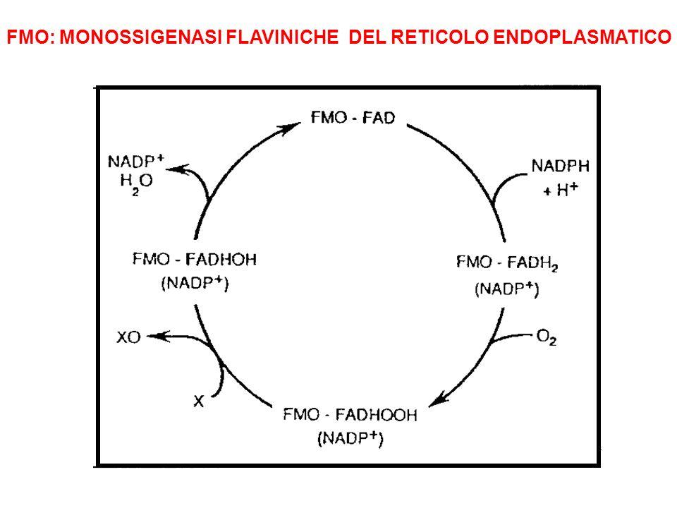 FMO: MONOSSIGENASI FLAVINICHE DEL RETICOLO ENDOPLASMATICO