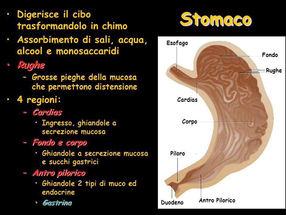 Stomaco Digerisce il cibo trasformandolo in chimo Assorbimento di sali, acqua, alcool e monosaccaridi RugheRughe –Grosse pieghe della mucosa che perme
