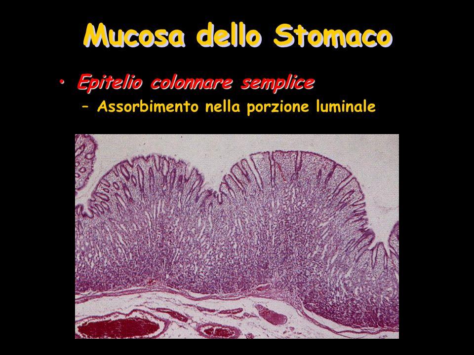 Mucosa dello Stomaco Epitelio colonnare sempliceEpitelio colonnare semplice –Assorbimento nella porzione luminale