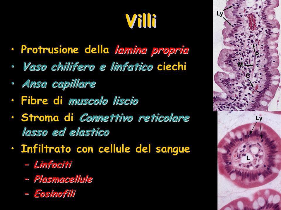 Villi lamina propriaProtrusione della lamina propria Vaso chilifero e linfaticoVaso chilifero e linfatico ciechi Ansa capillareAnsa capillare muscolo