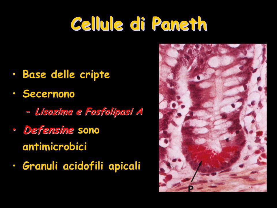 Cellule di Paneth Base delle cripte Secernono –Lisozima e Fosfolipasi A DefensineDefensine sono antimicrobici Granuli acidofili apicali