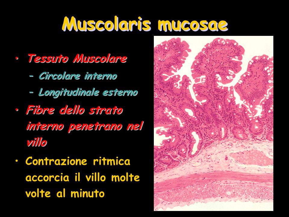Muscolaris mucosae Tessuto MuscolareTessuto Muscolare –Circolare interno –Longitudinale esterno Fibre dello strato interno penetrano nel villoFibre de