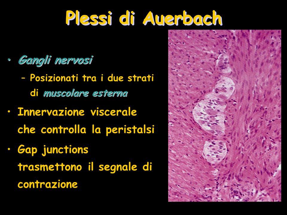 Plessi di Auerbach Gangli nervosiGangli nervosi muscolare esterna –Posizionati tra i due strati di muscolare esterna Innervazione viscerale che contro