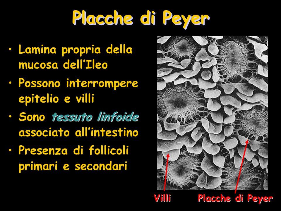 Placche di Peyer Lamina propria della mucosa dellIleo Possono interrompere epitelio e villi tessuto linfoideSono tessuto linfoide associato allintesti