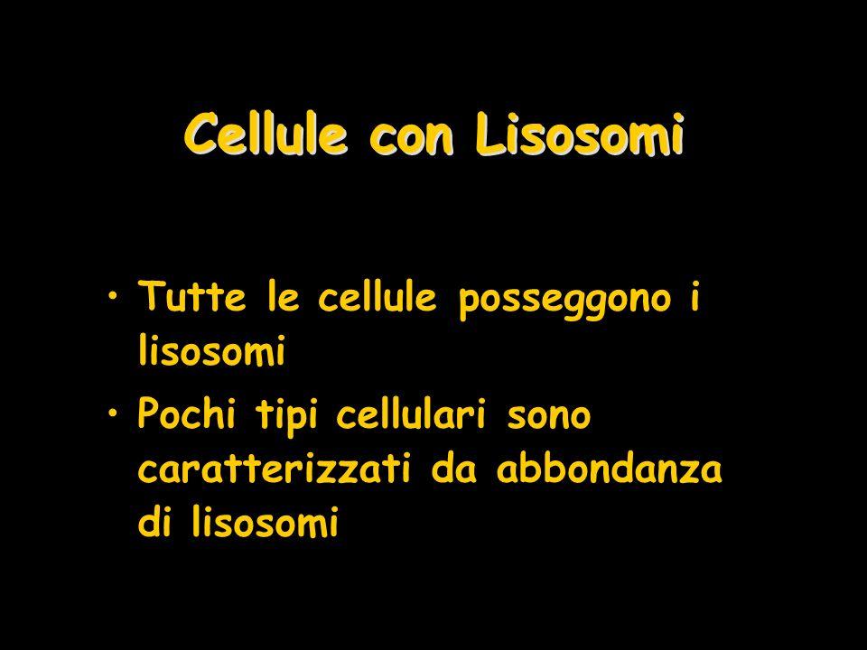 Cellule con Lisosomi Tutte le cellule posseggono i lisosomi Pochi tipi cellulari sono caratterizzati da abbondanza di lisosomi