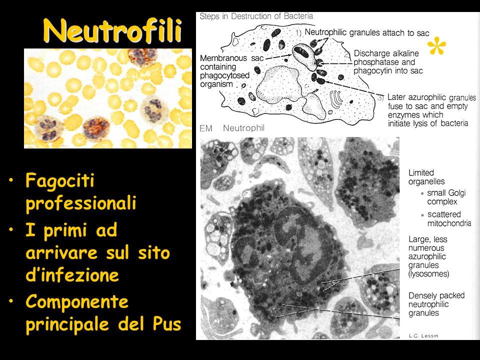 Neutrofili Fagociti professionali I primi ad arrivare sul sito dinfezione Componente principale del Pus *