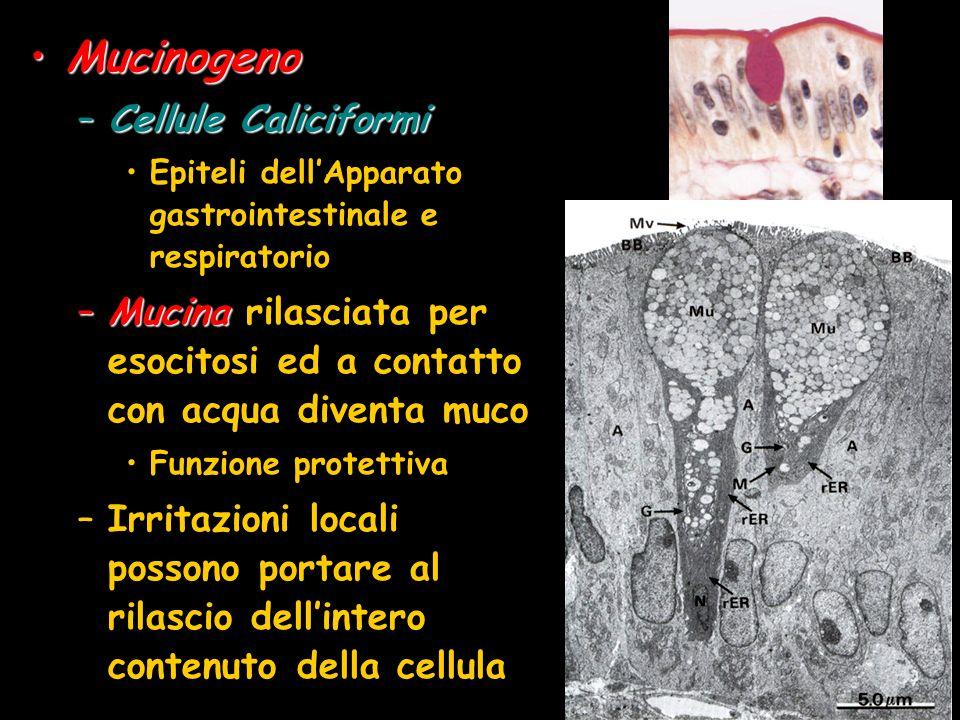 MucinogenoMucinogeno –Cellule Caliciformi Epiteli dellApparato gastrointestinale e respiratorio –Mucina –Mucina rilasciata per esocitosi ed a contatto