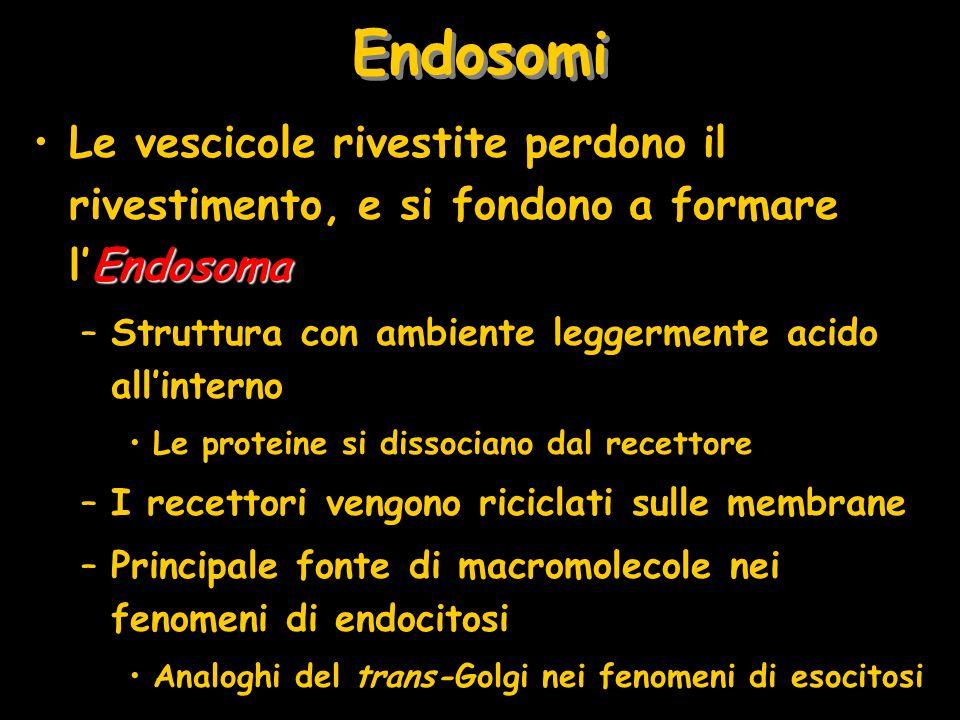 Endosomi EndosomaLe vescicole rivestite perdono il rivestimento, e si fondono a formare lEndosoma –Struttura con ambiente leggermente acido allinterno