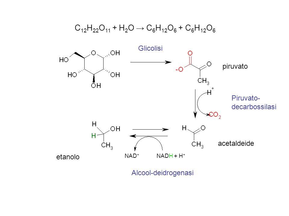C 12 H 22 O 11 + H 2 O C 6 H 12 O 6 + C 6 H 12 O 6 piruvato acetaldeide etanolo Piruvato- decarbossilasi Glicolisi Alcool-deidrogenasi NAD + NADH + H