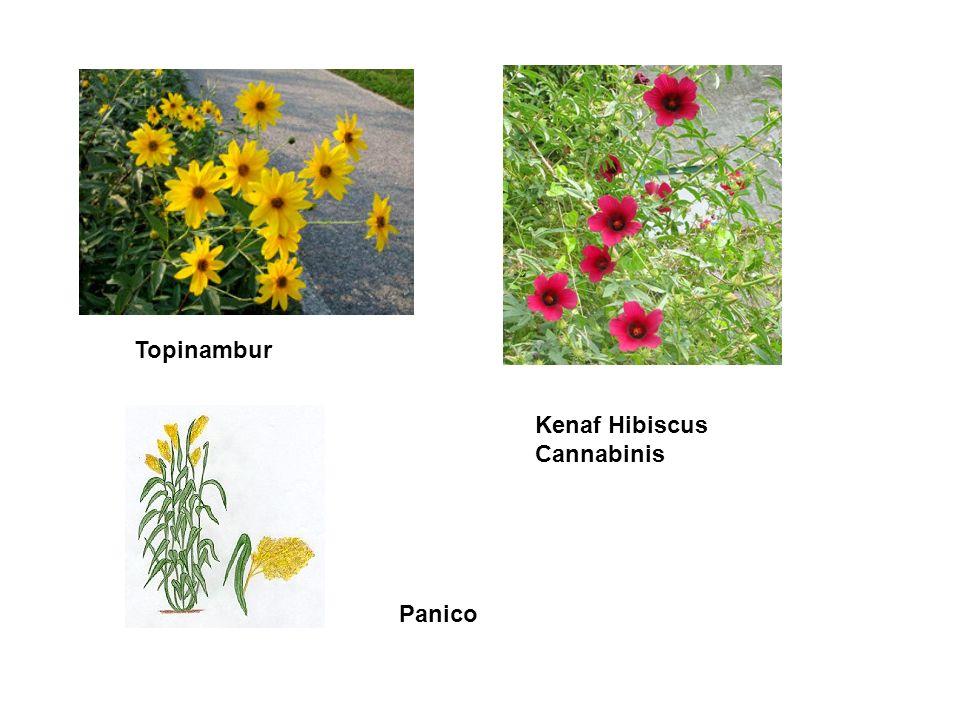 Kenaf Hibiscus Cannabinis Panico Topinambur