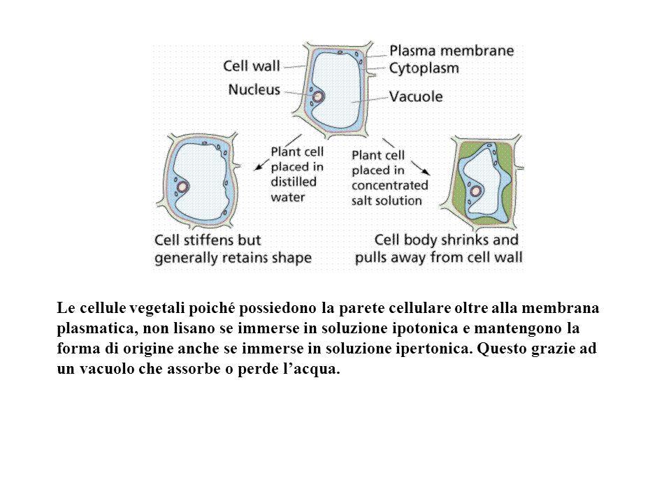 Le cellule vegetali poiché possiedono la parete cellulare oltre alla membrana plasmatica, non lisano se immerse in soluzione ipotonica e mantengono la