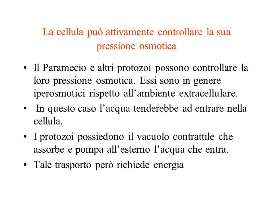 La cellula può attivamente controllare la sua pressione osmotica Il Paramecio e altri protozoi possono controllare la loro pressione osmotica. Essi so