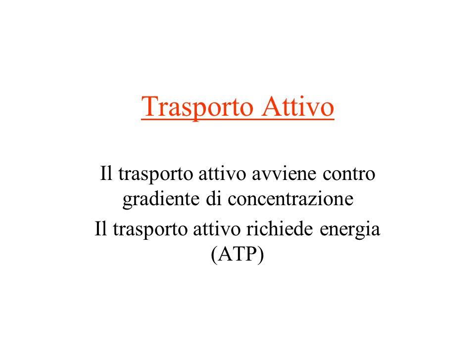 Trasporto Attivo Il trasporto attivo avviene contro gradiente di concentrazione Il trasporto attivo richiede energia (ATP)