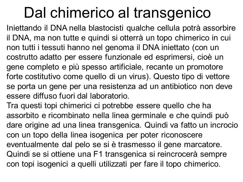Dal chimerico al transgenico Iniettando il DNA nella blastocisti qualche cellula potrà assorbire il DNA, ma non tutte e quindi si otterrà un topo chim
