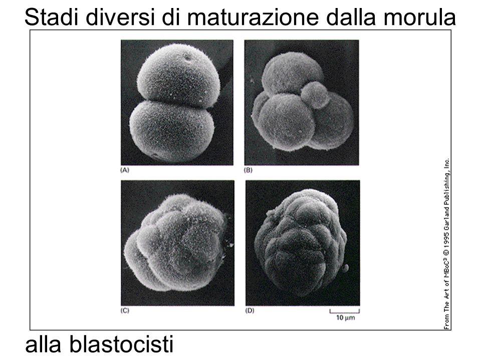 Stadi diversi di maturazione dalla morula alla blastocisti