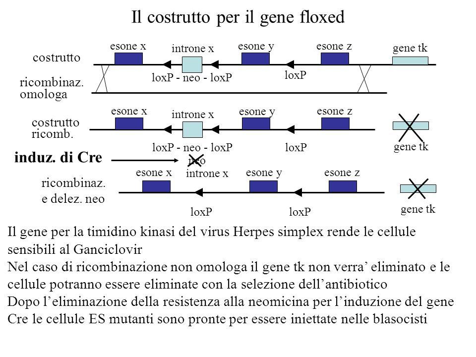 Il gene per la timidino kinasi del virus Herpes simplex rende le cellule sensibili al Ganciclovir Nel caso di ricombinazione non omologa il gene tk no