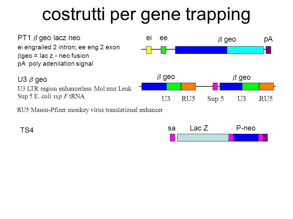 costrutti per gene trapping pA geo eeei PT1 geo lacz neo ei engrailed 2 intron; ee eng 2 exon geo = lac z - neo fusion pA poly adenilation signal U3 g