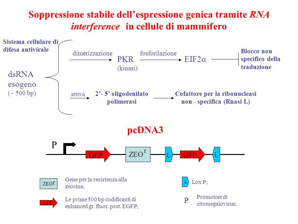 costrutto per un gene del SNC pJOJO CMV-IE actina loxP-GFP-loxP IRES lacZ - poly A cDNA Ngi Ngi Nerve growth inibitor da gene trapping CMV promotore del citomegalovirus IE enhancer actina di pollo GFP green fluor.