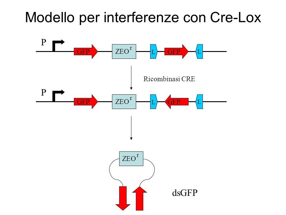 Rapporto FF:REN Riduzione di 10 volte dellespressione di FF in cellule trasfettate con i due plasmidi FF/REN FF = firefly luciferase REN = renilla luciferase ds = double strand ss = single strand as = antisense Espressione di CRE