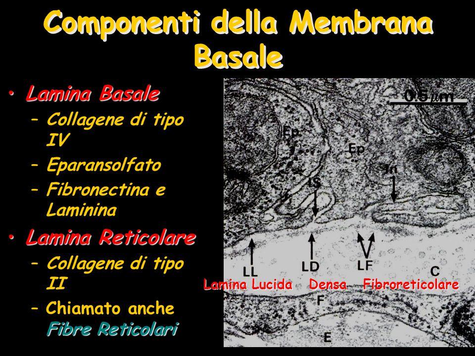 Componenti della Membrana Basale Lamina BasaleLamina Basale –Collagene di tipo IV –Eparansolfato –Fibronectina e Laminina Lamina ReticolareLamina Reticolare –Collagene di tipo II Fibre Reticolari –Chiamato anche Fibre Reticolari Lamina Lucida Densa Fibroreticolare