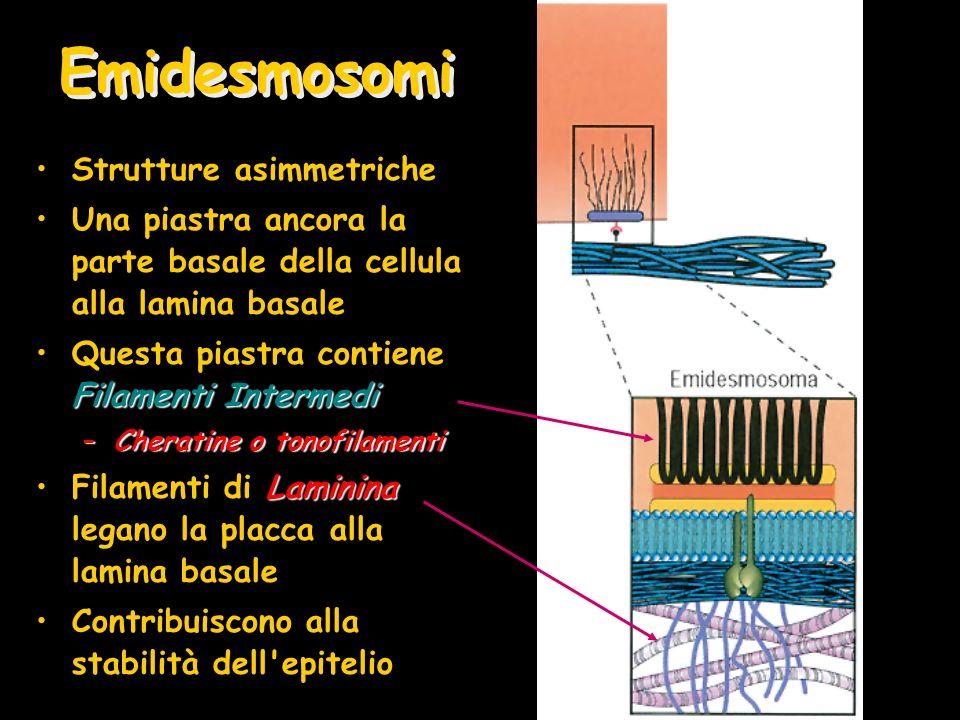 Emidesmosomi Strutture asimmetriche Una piastra ancora la parte basale della cellula alla lamina basale Filamenti IntermediQuesta piastra contiene Filamenti Intermedi –Cheratine o tonofilamenti LamininaFilamenti di Laminina legano la placca alla lamina basale Contribuiscono alla stabilità dell epitelio