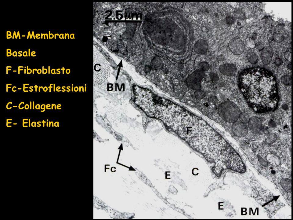 BM-Membrana Basale F-Fibroblasto Fc-Estroflessioni C-Collagene E- Elastina