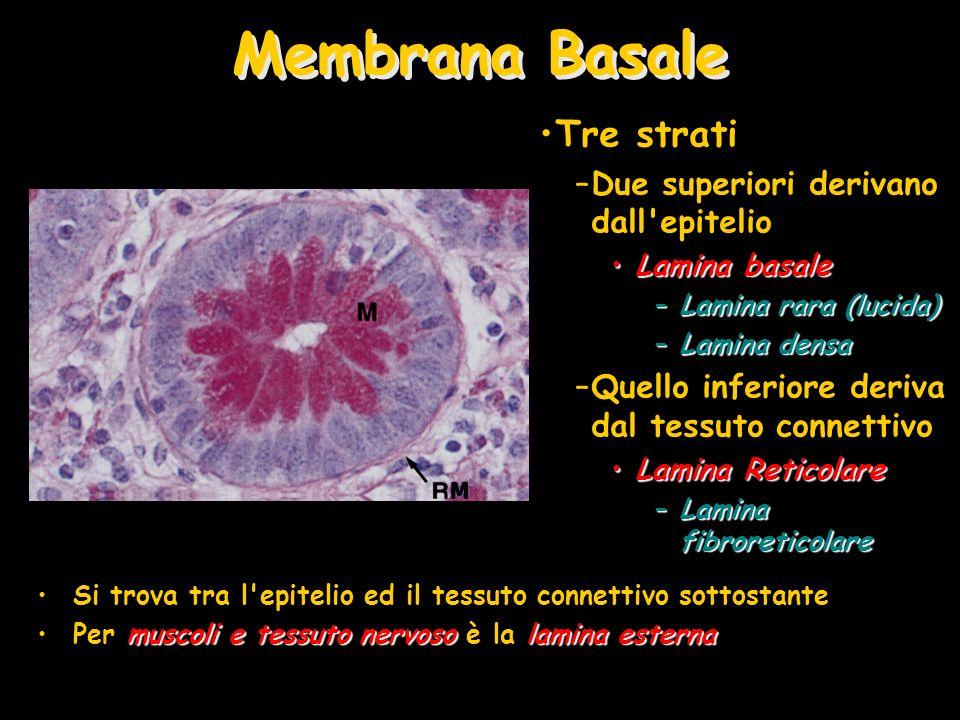 Membrana Basale Si trova tra l epitelio ed il tessuto connettivo sottostante muscoli e tessuto nervosolamina esternaPer muscoli e tessuto nervoso è la lamina esterna Tre strati –Due superiori derivano dall epitelio Lamina basaleLamina basale –Lamina rara (lucida) –Lamina densa –Quello inferiore deriva dal tessuto connettivo Lamina ReticolareLamina Reticolare –Lamina fibroreticolare