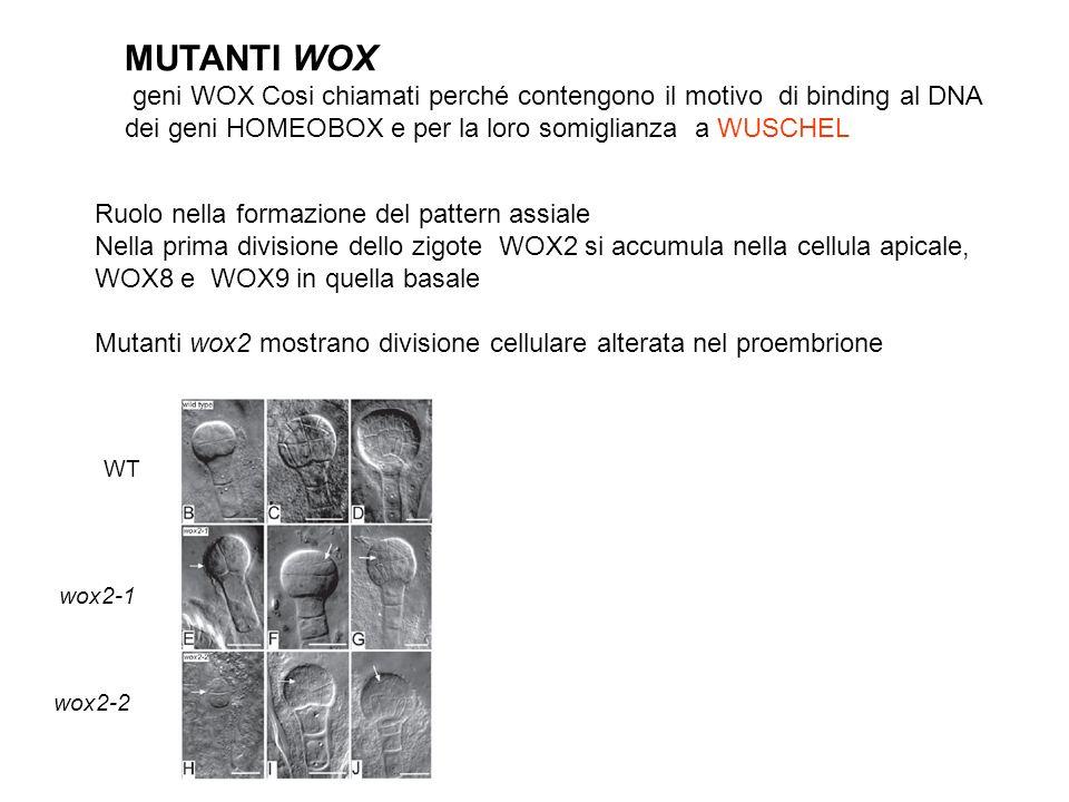 MUTANTI WOX geni WOX Cosi chiamati perché contengono il motivo di binding al DNA dei geni HOMEOBOX e per la loro somiglianza a WUSCHEL Ruolo nella for