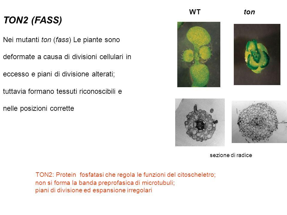 TON2 (FASS) Nei mutanti ton (fass) Le piante sono deformate a causa di divisioni cellulari in eccesso e piani di divisione alterati; tuttavia formano