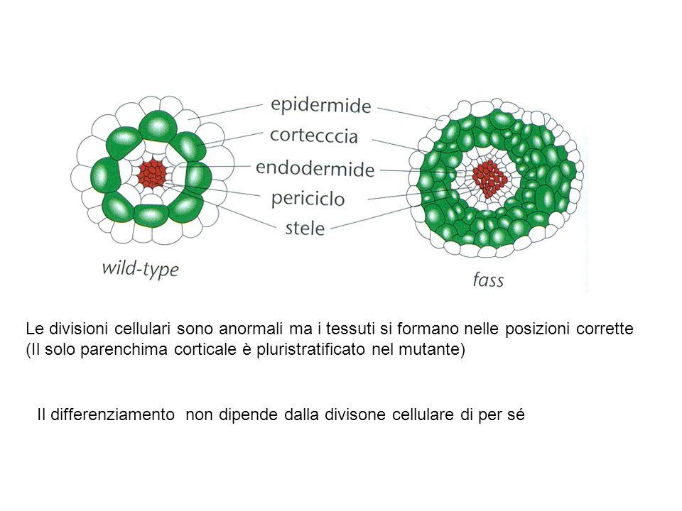 Le divisioni cellulari sono anormali ma i tessuti si formano nelle posizioni corrette (Il solo parenchima corticale è pluristratificato nel mutante) I