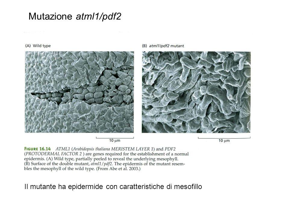 Mutazione atml1/pdf2 Il mutante ha epidermide con caratteristiche di mesofillo