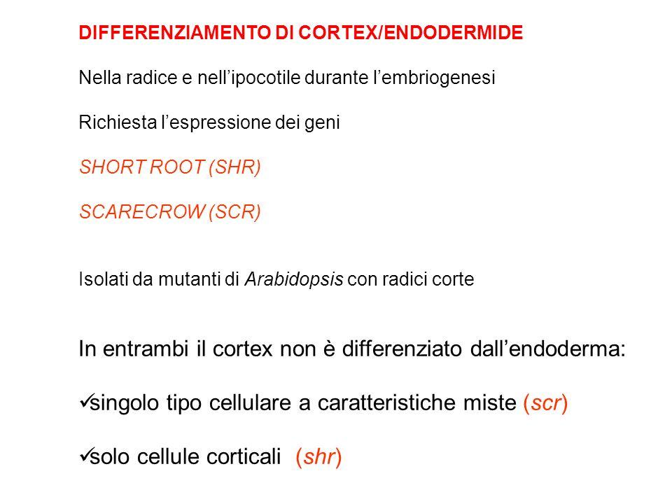 DIFFERENZIAMENTO DI CORTEX/ENDODERMIDE Nella radice e nellipocotile durante lembriogenesi Richiesta lespressione dei geni SHORT ROOT (SHR) SCARECROW (