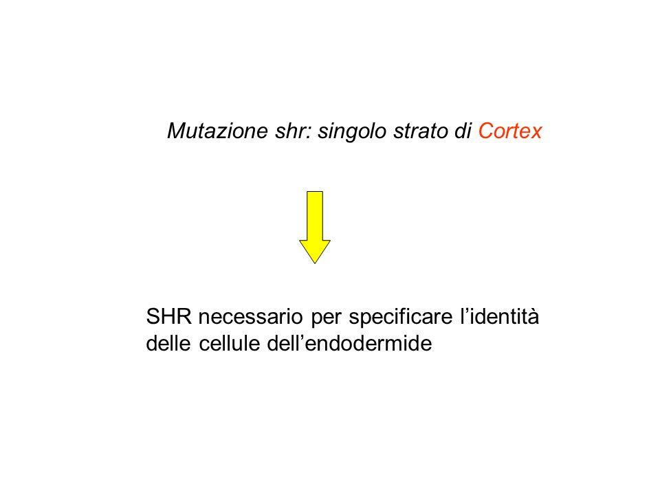 Mutazione shr: singolo strato di Cortex SHR necessario per specificare lidentità delle cellule dellendodermide