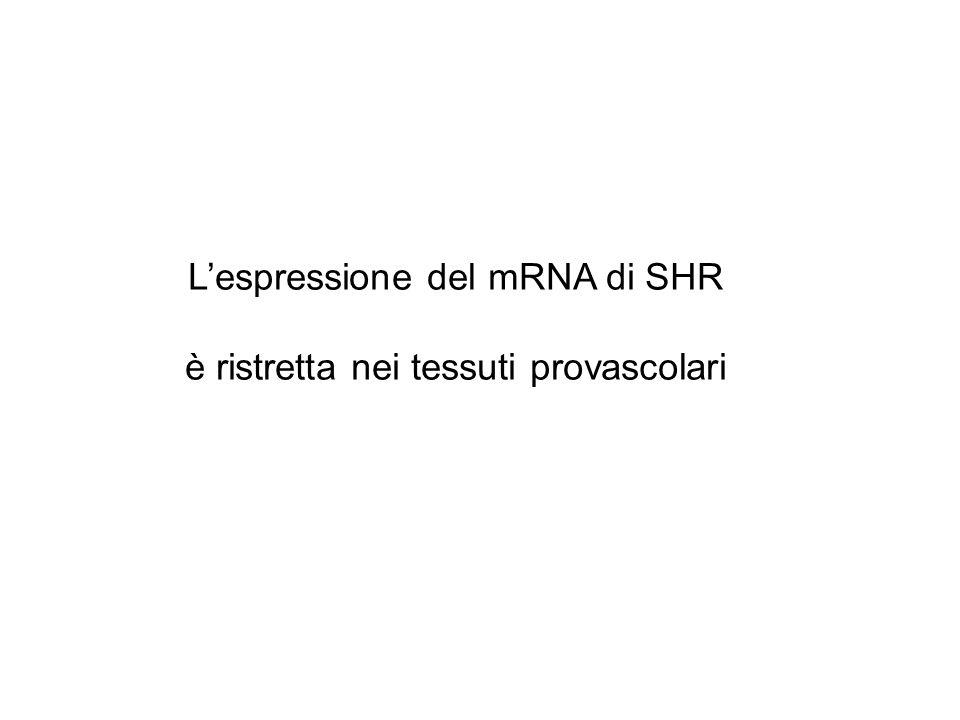 Lespressione del mRNA di SHR è ristretta nei tessuti provascolari