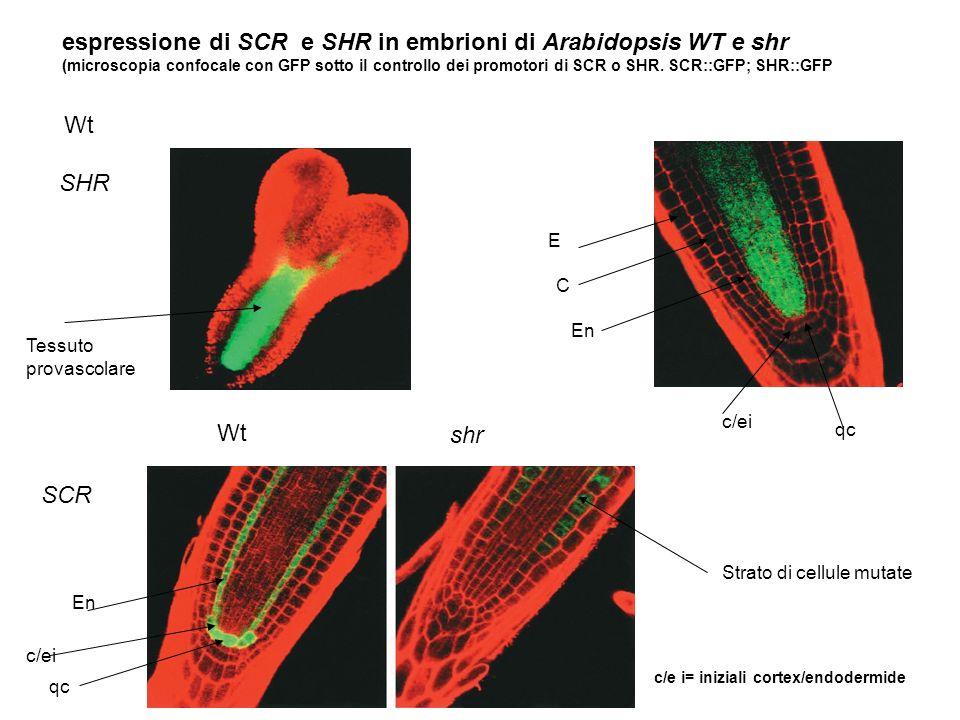 espressione di SCR e SHR in embrioni di Arabidopsis WT e shr (microscopia confocale con GFP sotto il controllo dei promotori di SCR o SHR. SCR::GFP; S