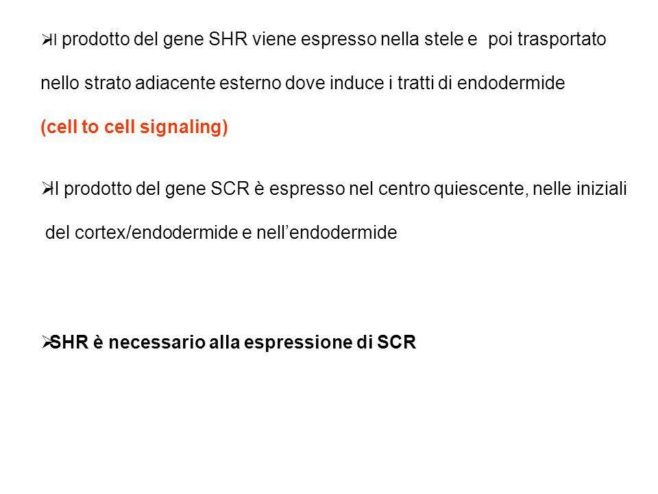 Il prodotto del gene SHR viene espresso nella stele e poi trasportato nello strato adiacente esterno dove induce i tratti di endodermide (cell to cell
