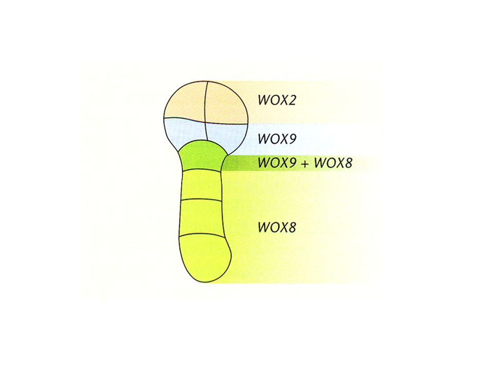 Le divisioni cellulari sono anormali ma i tessuti si formano nelle posizioni corrette (Il solo parenchima corticale è pluristratificato nel mutante) Il differenziamento non dipende dalla divisone cellulare di per sé