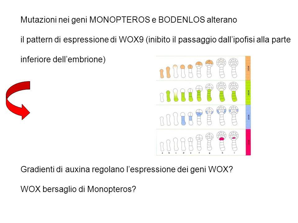 Mutazioni nei geni MONOPTEROS e BODENLOS alterano il pattern di espressione di WOX9 (inibito il passaggio dallipofisi alla parte inferiore dellembrion