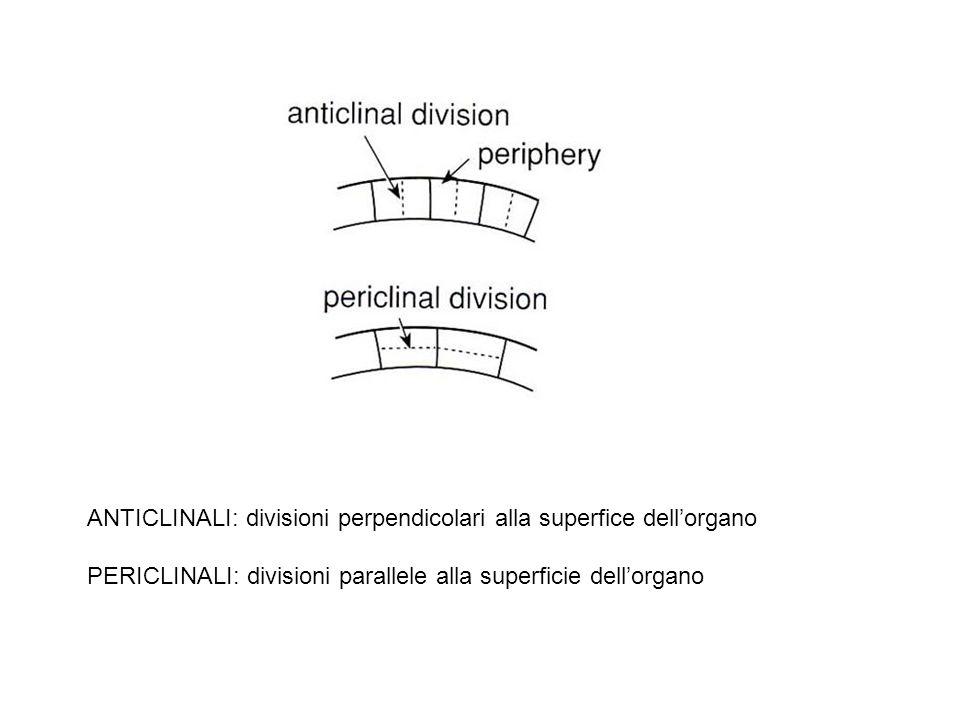 ANTICLINALI: divisioni perpendicolari alla superfice dellorgano PERICLINALI: divisioni parallele alla superficie dellorgano