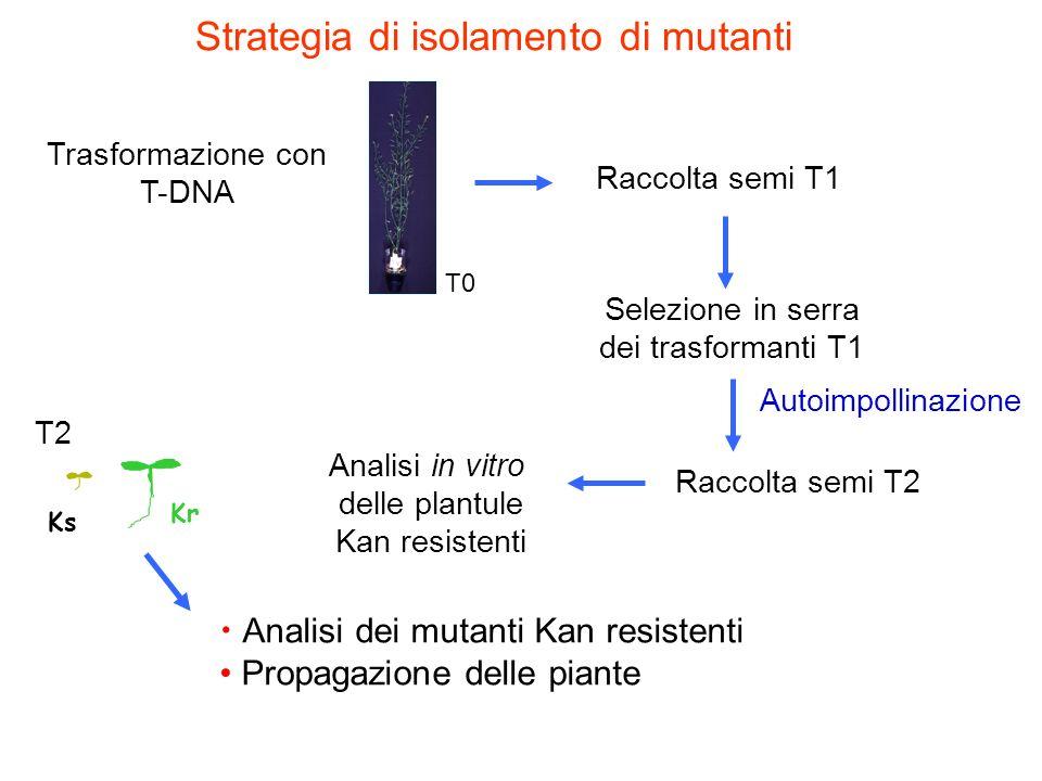 Strategia di isolamento di mutanti Analisi dei mutanti Kan resistenti Propagazione delle piante T2 Analisi in vitro delle plantule Kan resistenti Ks K