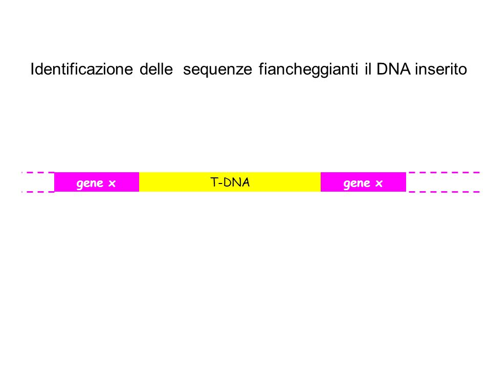 T-DNAgene x Identificazione delle sequenze fiancheggianti il DNA inserito