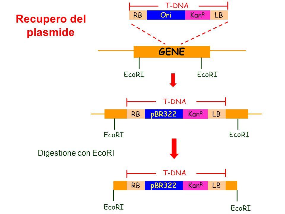 Digestione con EcoRI Recupero del plasmide GENE EcoRI RBLBOri Kan R T-DNA EcoRI RBLBpBR322 Kan R EcoRI T-DNA RBLBpBR322 Kan R EcoRI T-DNA EcoRI
