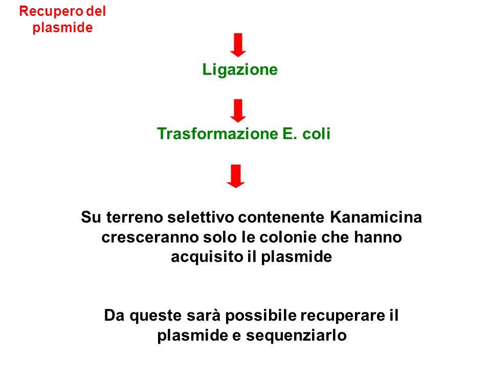 Su terreno selettivo contenente Kanamicina cresceranno solo le colonie che hanno acquisito il plasmide Da queste sarà possibile recuperare il plasmide