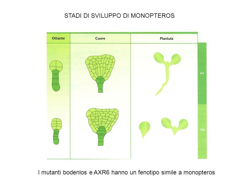 STADI DI SVILUPPO DI MONOPTEROS I mutanti bodenlos e AXR6 hanno un fenotipo simile a monopteros