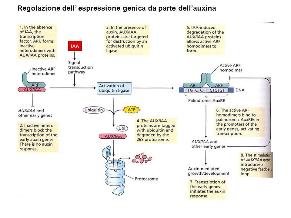 Regolazione dell espressione genica da parte dellauxina